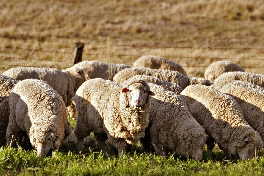 Merino sheep farming