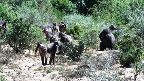 This is prime habitat for Chacma baboons