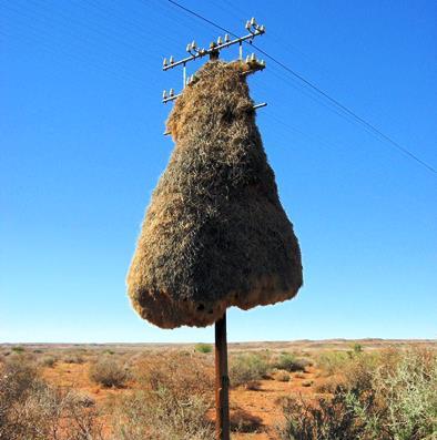 Nests on telephone poles - Kalahari