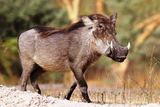 Warthogs in Addo