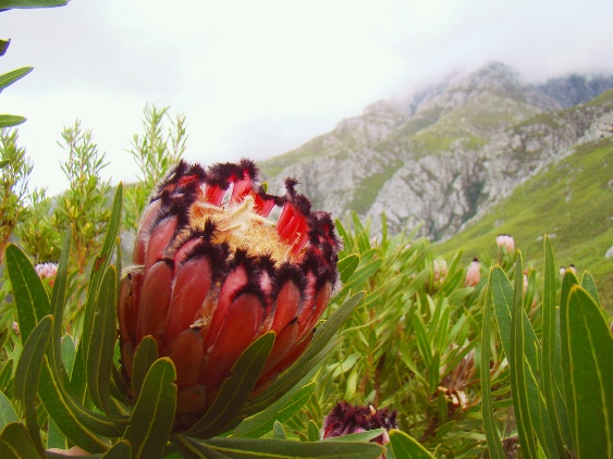 In winter the proteas will be in bloom