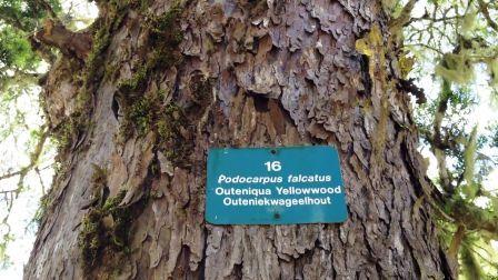 Giant outeniqua yellowwood