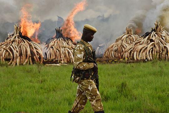 Destroying illegal ivory in Kenya