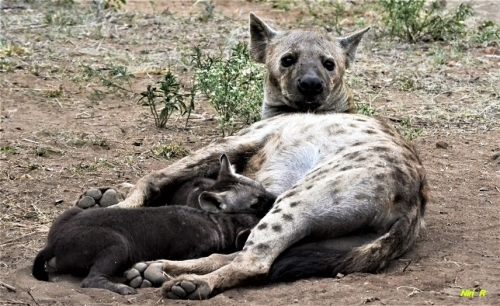 Hyena with pups (one of the top 5 photos in our photo competition)
