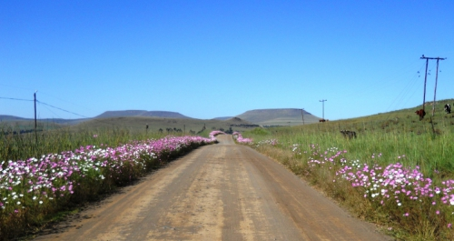 Cosmos along the road at Grootpoort
