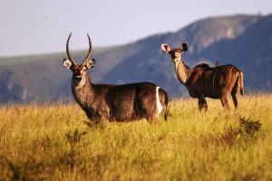 Waterbuck thrive in this area