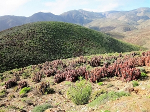 Helskloof Aloes near the summit