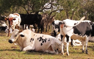 The cattle of the amaZulu