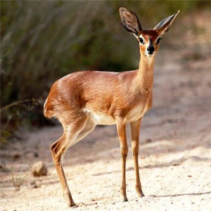 Look out for small antelope on this road