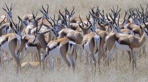 Springbok are commonly found in this region